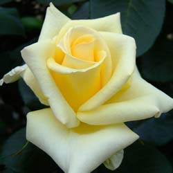 Rosal 'Lemon Beauty'
